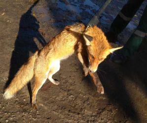 """Працівники КП """"Полігон ТПВ"""" виловили лисицю хвору на сказ і усипили."""